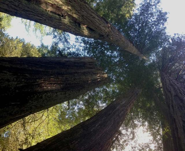 Looking up to the sky in Redwood National Park's Lady Bird Johnson Grove.