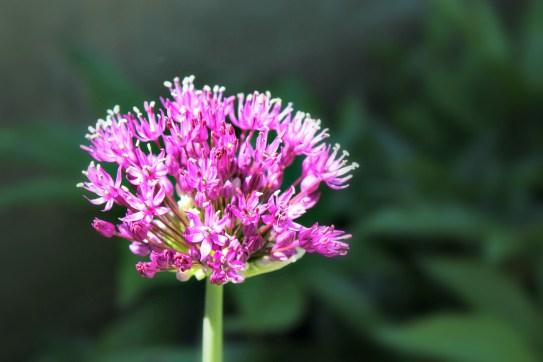 Allium, Bridget's favorite.