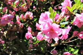 These pink azaleas look like cotton candy.