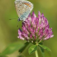 Miel de papillon