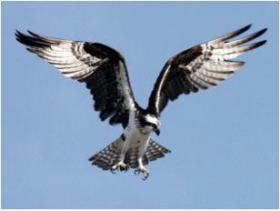 Osprey, nationalgeographic.com