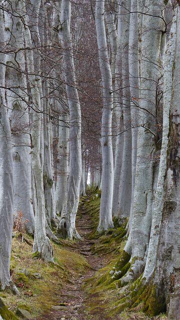 BIRCH TREES & MOSS