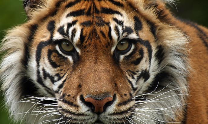 Sumatran-Tiger copy