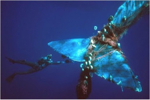 Diver trying to help a whale entangled in fishing gear