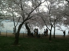 cherry blossoms 039