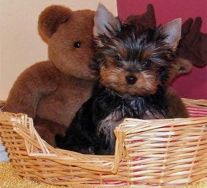 Moonlight Yorkies – Yorkies and Russian Toy Terriers