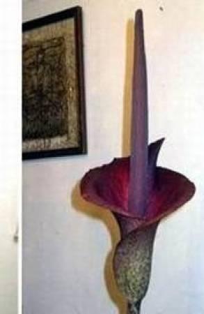 巨花魔芋開起花還蠻漂亮的