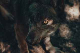 Halloween traditions across the globe wolf standing in rural area