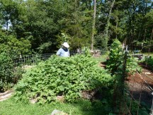 Gene behind the Hugelkultur. It was planted with ten watermelon plants and is covered. Lots of big melons.
