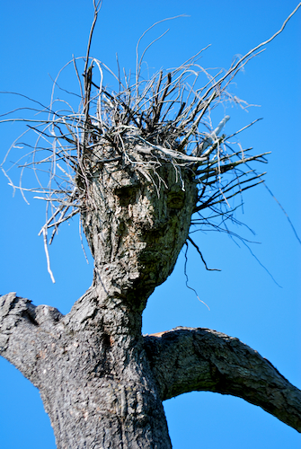 Pine Man's Face