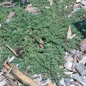 """Thyme, Creeping Mother of Thyme """"Walk-on-me"""""""