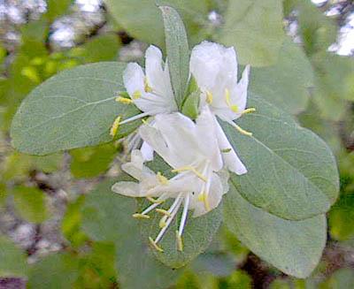 Honeysuckle, Fragrant (Winter)