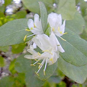Honeysuckle, Fragrant (Winter)
