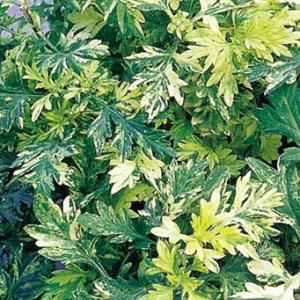 Artemisia, Oriental Limelight Plug Flat