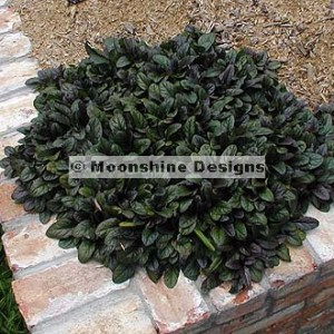 Ajuga, Bronze Beauty Plug Flat