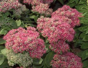 autumn_fire_sedum
