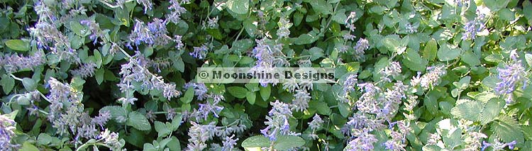 Catmint, Walker's Low Plug Flat