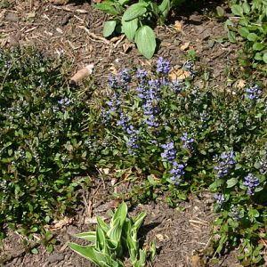 Ajuga, Chocolate Chip Plug Flat
