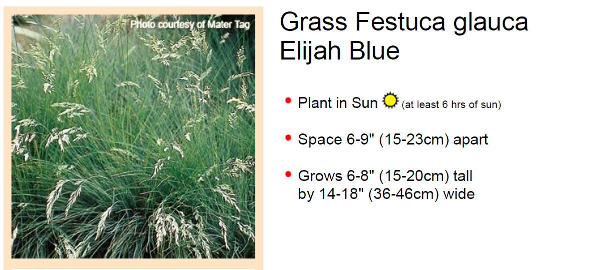 Grass, Festuca, Elijah Blue Plug Flat