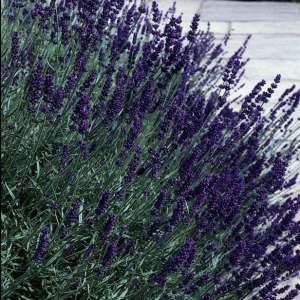 Lavender, Hidcote Superior, English