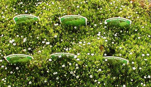 Moss, Irish Plug Flat