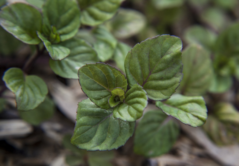 Mint, Lavender Plug Flat