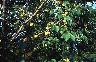 Manchurian  Apricot Seed