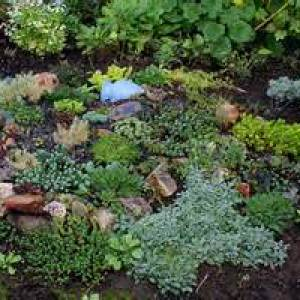 Sedum, Rock Garden Assortments Plug Tray