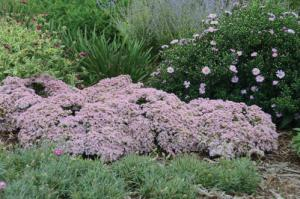 sedum_pure_joy_cjw12_0