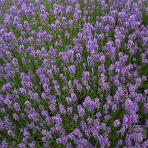Lavender, Munstead Plug Flat