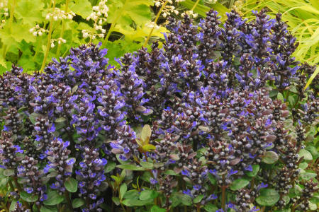 Ajuga, Blueberry Muffin
