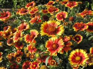 gaillardia-arizona-sun