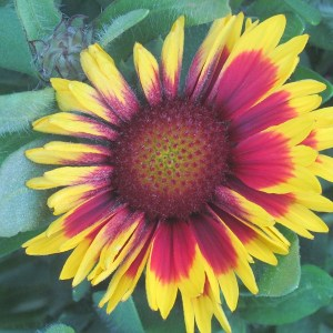 Gaillardia, Arizona Sun (Blanket Flower)
