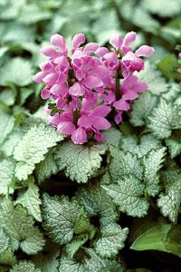 Lamium, Orchid Frost