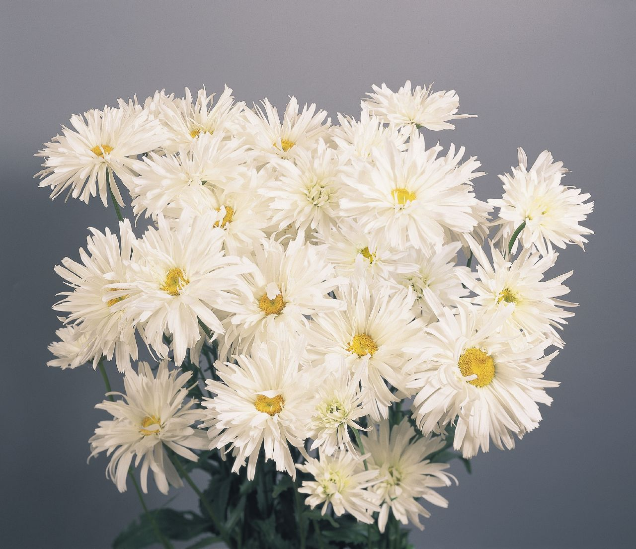 Shasta Daisy (Leucanthemum) Crazy Daisy Plug Flat