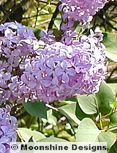 Lilac, Purple Old Fashioned