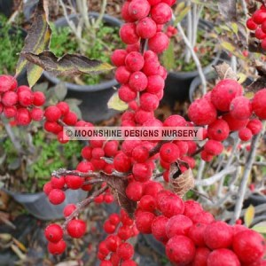 Holly, Winterberry, Berry Heavy