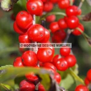 Holly, Winterberry, Sprite