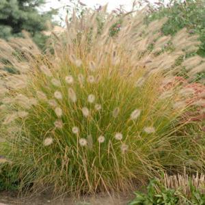 Grass, Prairie Winds® 'Desert Plains' Fountain Grass