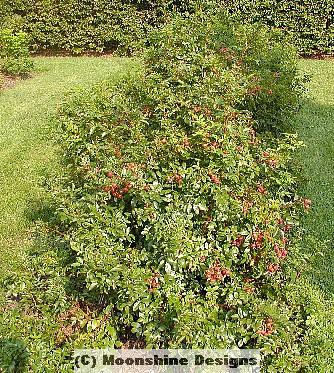 Rugosa Rose, Seed