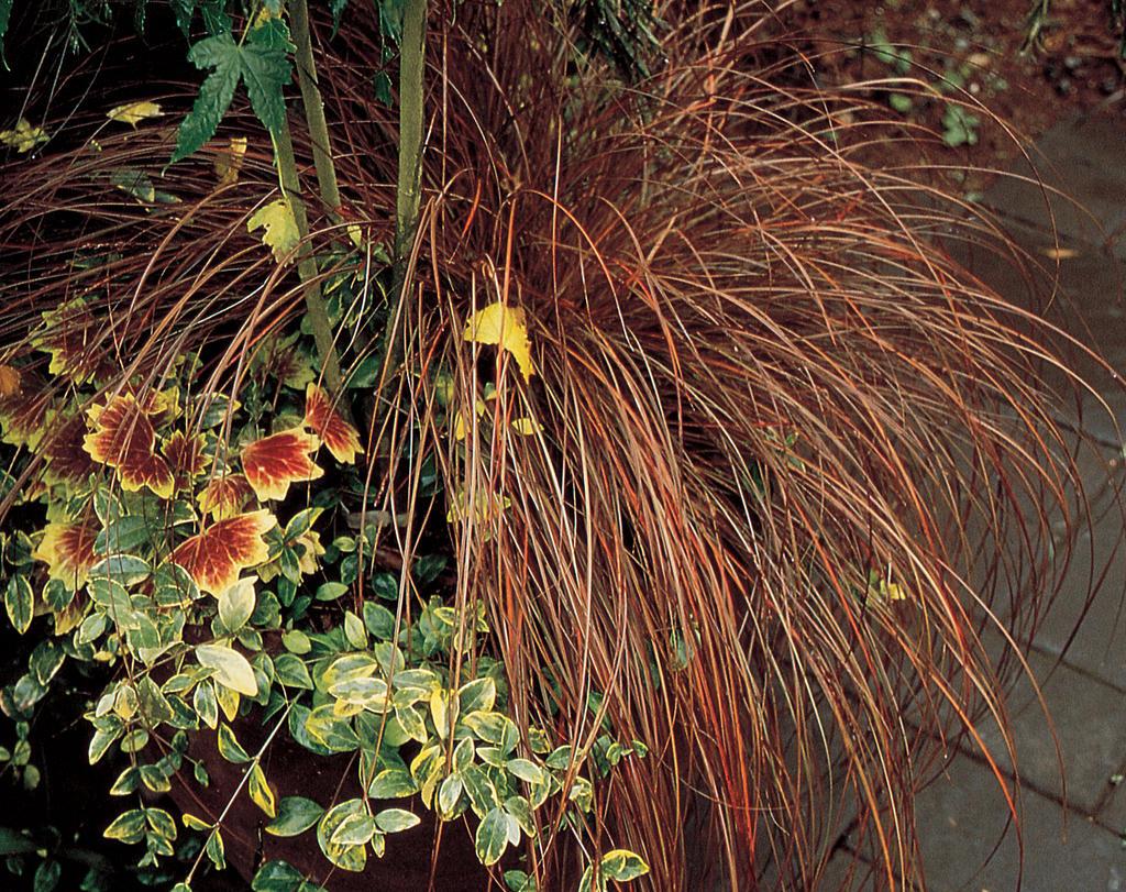 Grass, Toffee Twist (Carex)