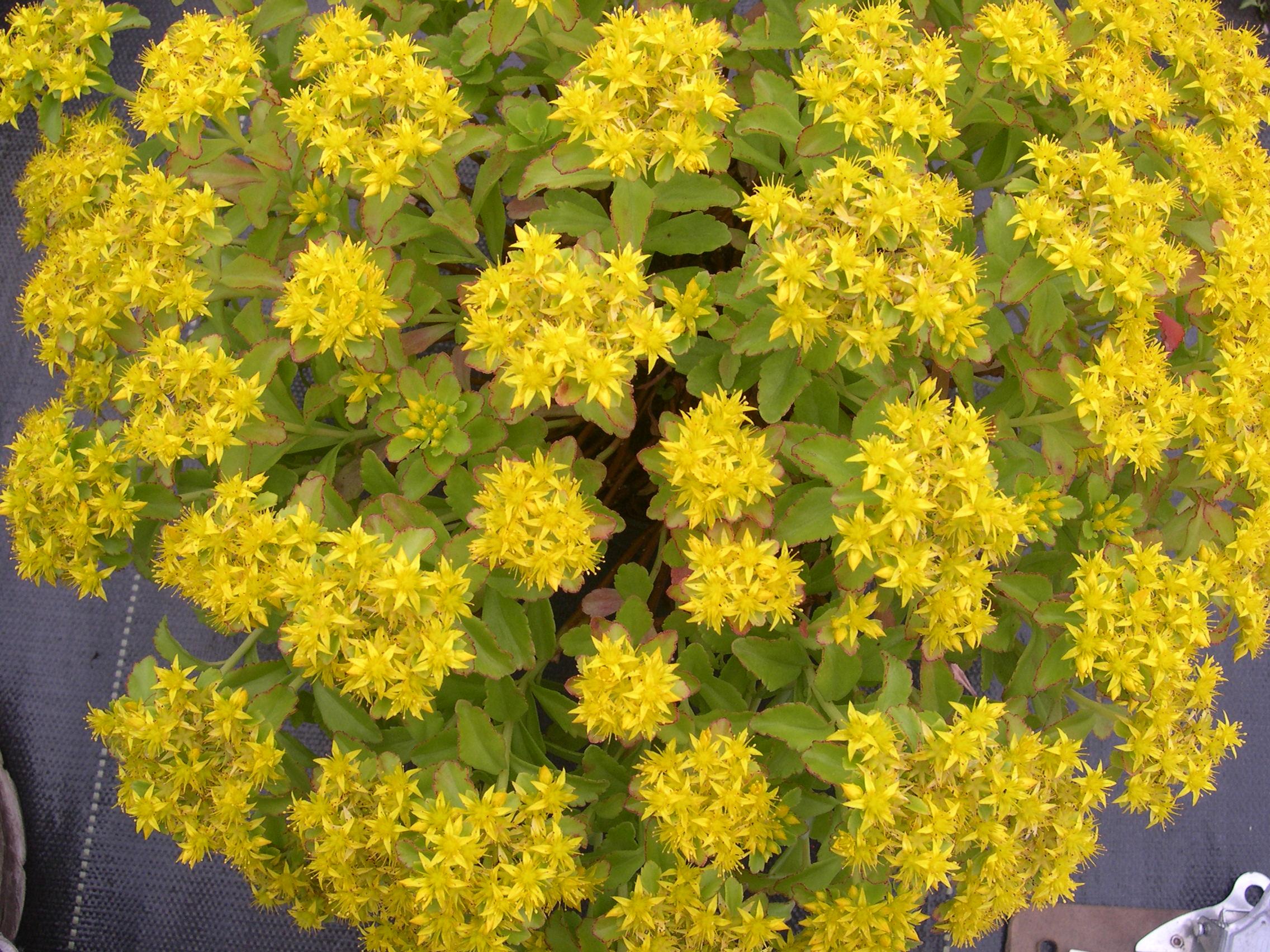 Sedum ellacombianum plug flat moonshine designs nursery sedum mightylinksfo
