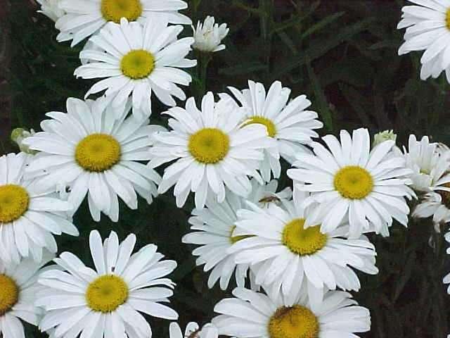 Leucanthemum (Shasta Daisy) Snow Lady Plug Flat
