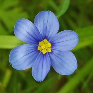 Blue Eyed Grass (Sisyrinchium bellum) Plug Flat