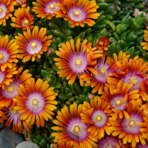 Delosperma, (Ice Plant) Fire Spinner