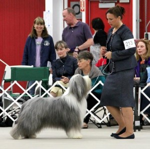Spike in Breed 2013 BCCA National