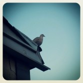 My turtledove friend R.I.P