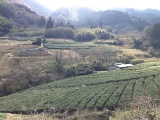 Trekking through nearby tea farms in Takachiho.
