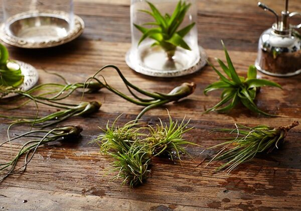 air-plants-tillandsias-mister-glass-cloche-gardenista