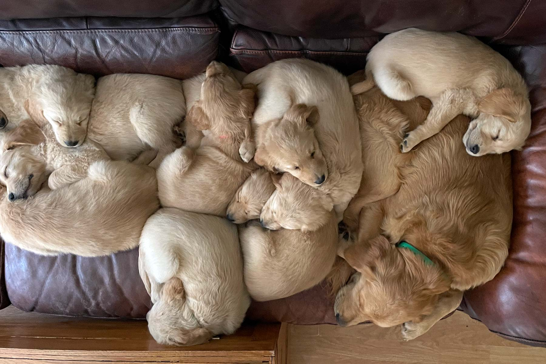 golden retriever puppies sleeping on a leather couch